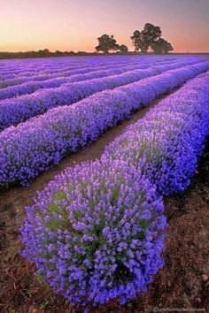 Miles and miles of lavender fields, in the Provence region of France. I want to … Miles and miles of lavender fields, in the Provence region of France. Beautiful Flowers, Beautiful Places, Beautiful Pictures, Amazing Photography, Nature Photography, Photography Flowers, Landscape Photography, Travel Photography, Crop Field