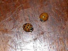 Get Rid of Ladybugs Naturally