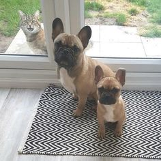 French Bulldogs and cats...yay or nay? #buldog