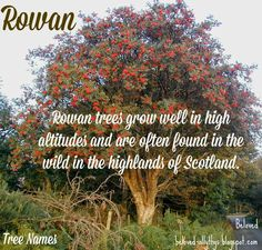 Beloved Baby Names: Tree Names – trendsname Nature Names Baby, Cool Baby Names, Awesome Names, Boy Names, Rowan Baby Name, Twin Quotes, Girls Room Paint, Elephant Themed Nursery, Baby Nursery Themes