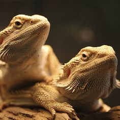 General Bearded Dragon Care Sheet
