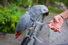 Have fun with your parrot the easy way! 25+ ideas to have fun parrots. Fun ideas for you, too. Socializing and having fun with your parrot makes it tame.
