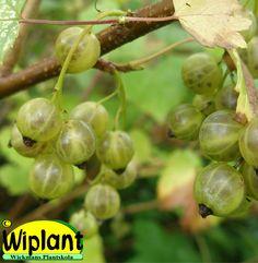 Ribes nigrum 'Venny', Gröna vinbär. FinE-sort. Söta goda bär. Kan användas till viner. Höjd: 1-1,3 m.
