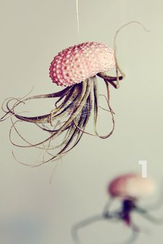 Air plants upside down in an Urchin shell