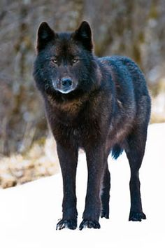 Alexander Archipelago wolf. Wolves need trees, too. Stop Big lumber from taking their trees!
