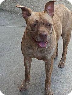 Dallas, GA - Pit Bull Terrier. Meet Coco, a dog for adoption. http://www.adoptapet.com/pet/9891902-dallas-georgia-pit-bull-terrier