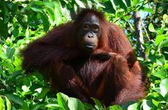 orangutan, ktorého som stretla na Borneu, i love it :)