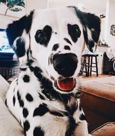 Dalmatian with heart eyes 😍😍 Via Charlene Brown.dalmatian via… Dalmatiner mit Herzaugen 😍😍 Via Charlene Brown. Cute Funny Animals, Cute Baby Animals, Animals And Pets, Funniest Animals, Cute Dogs And Puppies, I Love Dogs, Doggies, Cute Animals Puppies, Adorable Puppies