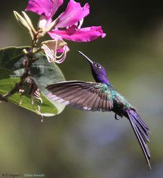 Beija-flor Tesoura (Eupetomena macroura) - Swallow-tailed Hummingbird - 12-06-2010 - IMG_1355 by Flávio Cruvinel Brandão.....WOW!