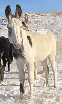 "Adoption Donkeys. Dove is a mammoth jennet. She had trouble with her first pregnancy and has stiff front feet now due to laminitis. She needs the attention of a farrier that knows how to trim her correctly. She is 59"". Courtesy: Rocky Mountain Songbirds, Ismay, Montana (USA)."