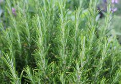 Rosemary - POD easy edible gardening