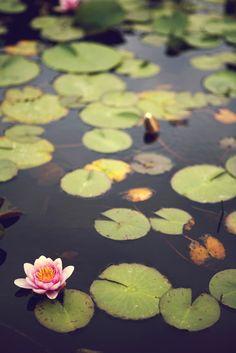 Honinji, Jeju Island, Republic of Korea by wond32 #Water_Lily #ROK