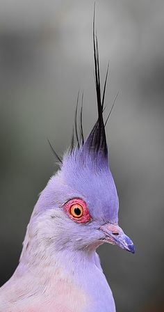 The domestic pigeon is a pigeon that was derived from the rock pigeon. The rock pigeon is the world's oldest domesticated bird. Pretty Birds, Beautiful Birds, Animals Beautiful, Cute Animals, Hello Beautiful, Baby Animals, Kinds Of Birds, All Birds, Love Birds