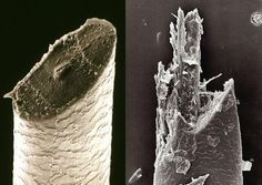 Beard hairs under a scanning electron microscope: cut with razor (left) and electric shaver (right).