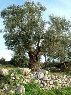 Campagna Tricase (Salento). (Puglia)