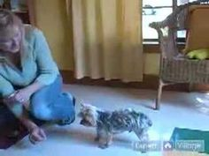 How to Train Your Yorkie to Lay Down With These Dog Obedience Tips for Yorkshire Terriers