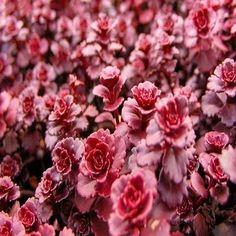 Sedum Dragons Blood Succulent