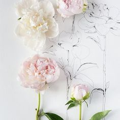 Nude Pink and White Peonies // Fresh Flowers and Pencil Sketches Flower Power, My Flower, Flower Art, Motif Floral, Arte Floral, Flowers Nature, Beautiful Flowers, Fresh Flowers, White Flowers