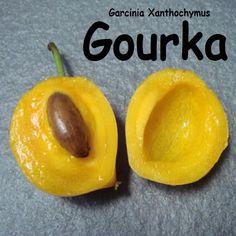 ~GOURKA~ Garcinia Xanthochymus RARE TROPICAL FRUIT TREE LIVE Pot'd Starter Plant #PolynesianProduceStand