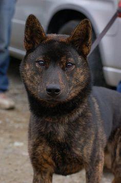 "Kaiken or torainu: ""tiger dog,"" a breed from Yamanashi-ken"