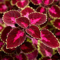 """Trailing Rose coleus  Sunrise is selling this new variety of trailing coleus in a 4"""" pot for $2.29 and in wire hanging baskets."""