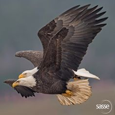 Sasse Photo   Eagle Pair in Perfect Harmony - Feel Free to Share Comment: A rather rare image, difficult to capture sharp, an eagle pair flying very close and well synchronized wing movement for you to enjoy.