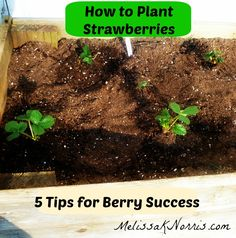 How to Plant Strawberries | www.MelissaKNorris.com -- I totally need this for my garden this year!
