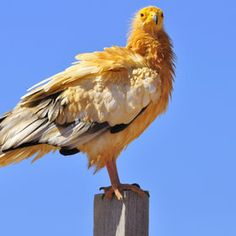 Vulture--That is a beautiful Yellow!