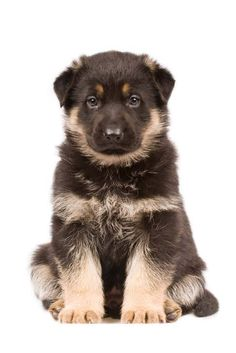 Unique German Shepherd Dog Names For Boy Or Girl Black German Shepherd Puppies, German Shepherd Breeds, German Shepherd Pictures, German Shepherds, German Shepherd Names Male, Cute Puppy Pictures, Dog Pictures, Schaefer, Gsd Puppies