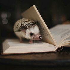 Hedgehog and book