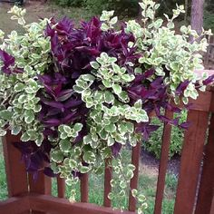 Swedish Ivy and Wondering Jew. Drought tolerant.