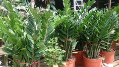 ZZ Plant (Zamioculcas zamiifolia) 1.jpg