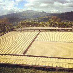 #costarica #specialtycoffee #thrivefarmers #farmerdirect #knowwhogrows