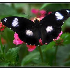 ~~ Black and White Beauty ~ Butterfly by Elaine Manley~~