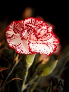 Clavel by Antonio Jose Muro Sanchez on 500px