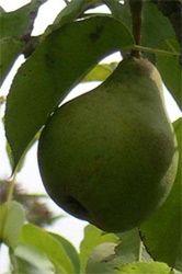 Pear and Lemon Jam