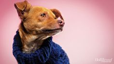 Mike: Chihuahua/Italian greyhound mix, 1 year old