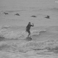 Surfin' with the Peli's Galveston Texas, Galveston Island, Hang Ten, Photography, Animals, Collection, Photograph, Animales, Animaux