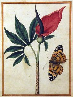 Jacques le Moyne de Morgues, Dragon Arum with Butterfly, 16th century