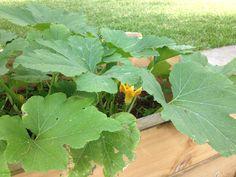 Calabacita, huerto organico