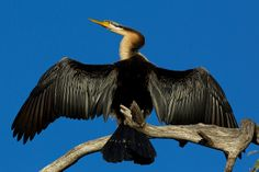 Australasian Darter .  Spend a lot of time underwater, and when just their head is poking out, frequently get mistaken for snakes.