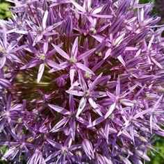 Ein treuer Gast im Garten: Zierlauch  #Garten #Zierlauch #Allium #Garden #Flowers #Blumen #Blumengarten