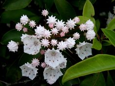 Mountain Laurel from Japan (via Nemo's great uncle)...Had these in my yard as a child in Bloomingburg, NY...I Love them!