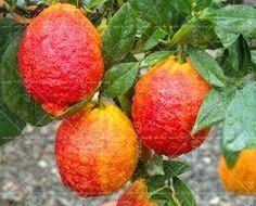 Resultado de imagem para frutas de vasos