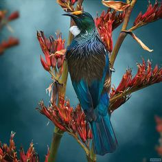 Tui Tea Time -lg by Julian Hindson - prints Pretty Birds, Beautiful Birds, Tui Bird, New Zealand Art, Nz Art, Maori Art, Colorful Birds, Exotic Birds, Fauna