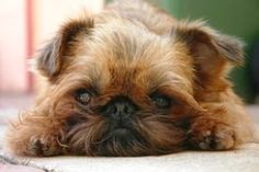 The Intelligent and Happy Brussels Griffon - Zimbio