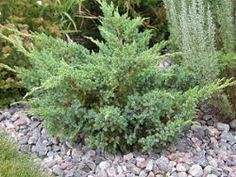 Sinikataja Sinikataja Blue Swede, Juniperus squamata 'Blue Swede', blå-en 'Blue Swede'