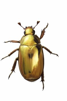 Gold Beetle.
