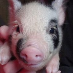 miniature pot belly pig! want one. need one. trying to talk hubs into one.