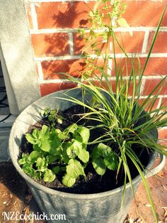 Plant mint & lemongrass to repel flys & Mosquitos?